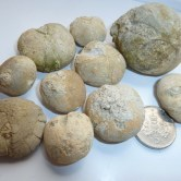 Fossil echinoid's from Pirates Cove