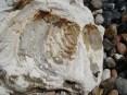 Large Inoceramus bivalve in chalk