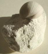 West - nice brachiopod