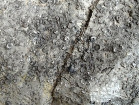 Crinoid pieces in limestone