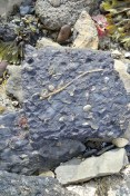 Excellent crinoid stem on shale