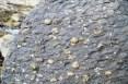 Many brachiopods on shale
