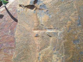 Possible graptolite