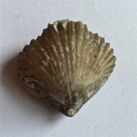 Goniorhychia boueti