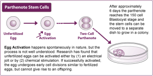 parthenote-stemcell