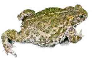 toad_white_natterjack