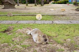 ウサギ島09