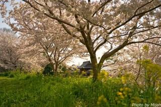 境川・桜06