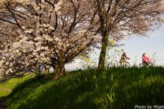 境川・桜04