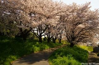 境川・桜13