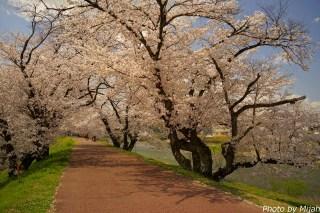 多治見・桜12