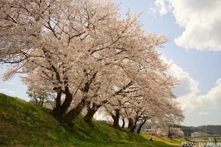 多治見・桜15