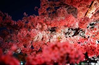 東京夜桜02