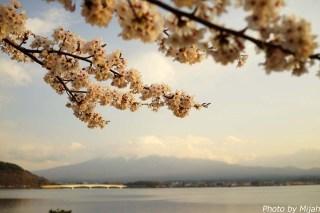 河口湖・桜08