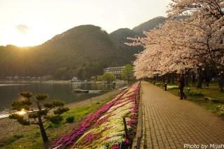 河口湖・桜06