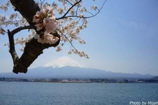 河口湖・桜13