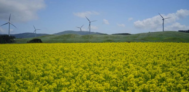 横浜町の菜の花 ~穏やかな空気と黄色の色彩に安らぐ~