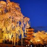 京都市・東寺の「不二桜」 ~五重塔と月夜のライトアップは必見の幻想世界~