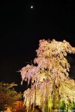 touji-sakura17