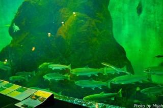 salmon-museum03