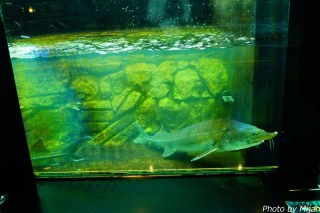 salmon-museum05