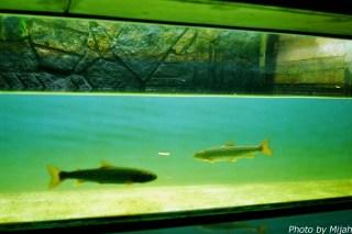 salmon-museum20
