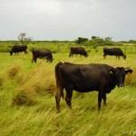 牛と孔雀たちの島、沖縄県・黒島を周遊する