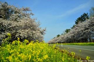 nanohana-road05