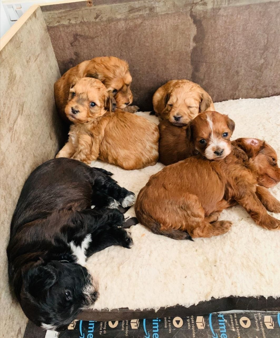 Shorkie Poo Puppies : shorkie, puppies, Shorkie-poo, Puppies, UKPets