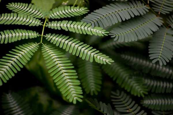 Feuille Acacia Koa - Les 4 K Ukulele