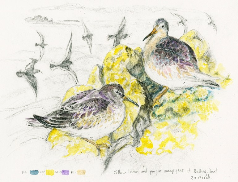 yellow lichen and purple sandpipers
