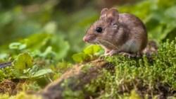 Simak 11 Tips Jitu Mengusir Tikus Dari Rumah