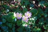 Primula-vulgaris-–-Flor-de-San-José---Vivero-de-Ulia