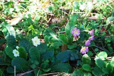 Primula-vulgaris-–-Flor-de-San-José---Vivero-de-Ulia2