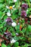 lamium-purpureum-viveros-ulia-ortiga-muerta2