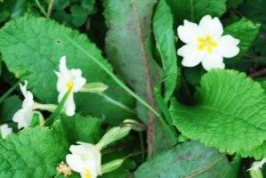 primulas-vulgaris-viveros-de-ulia4