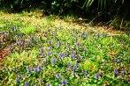 prunella_vulgaris-uliako-mintegien-parkean3
