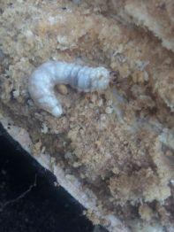Larva de Scarabeido