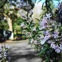 Romero, una de las flores azules de parque Viveros de Ulia