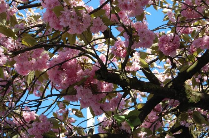 rosa Blütehimmel