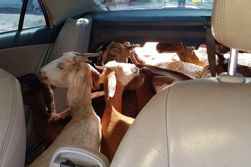 PRF prende em Cruz do Espírito Santo três homens que transportavam 11 cabras dentro de carro de passeio