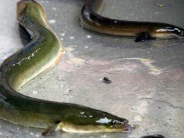 Cocaina danneggia muscoli delle anguille