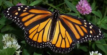 Is Monsanto Driving the Monarch Butterfly Into Extinction?
