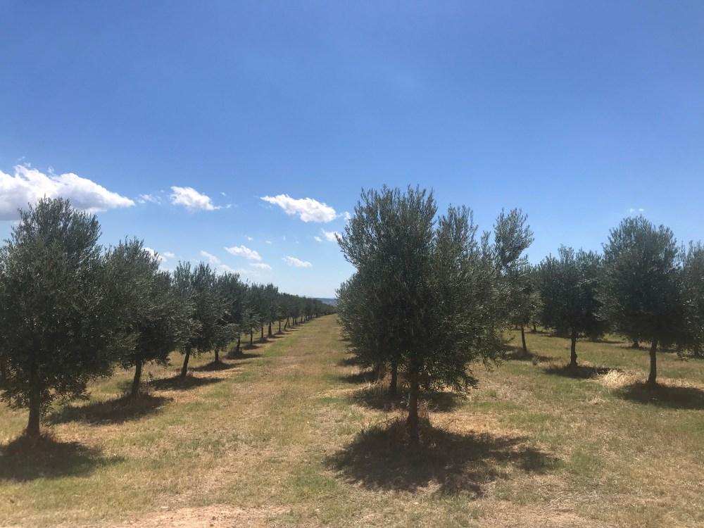 As oliveiras da OliOl em Requena na Espanha