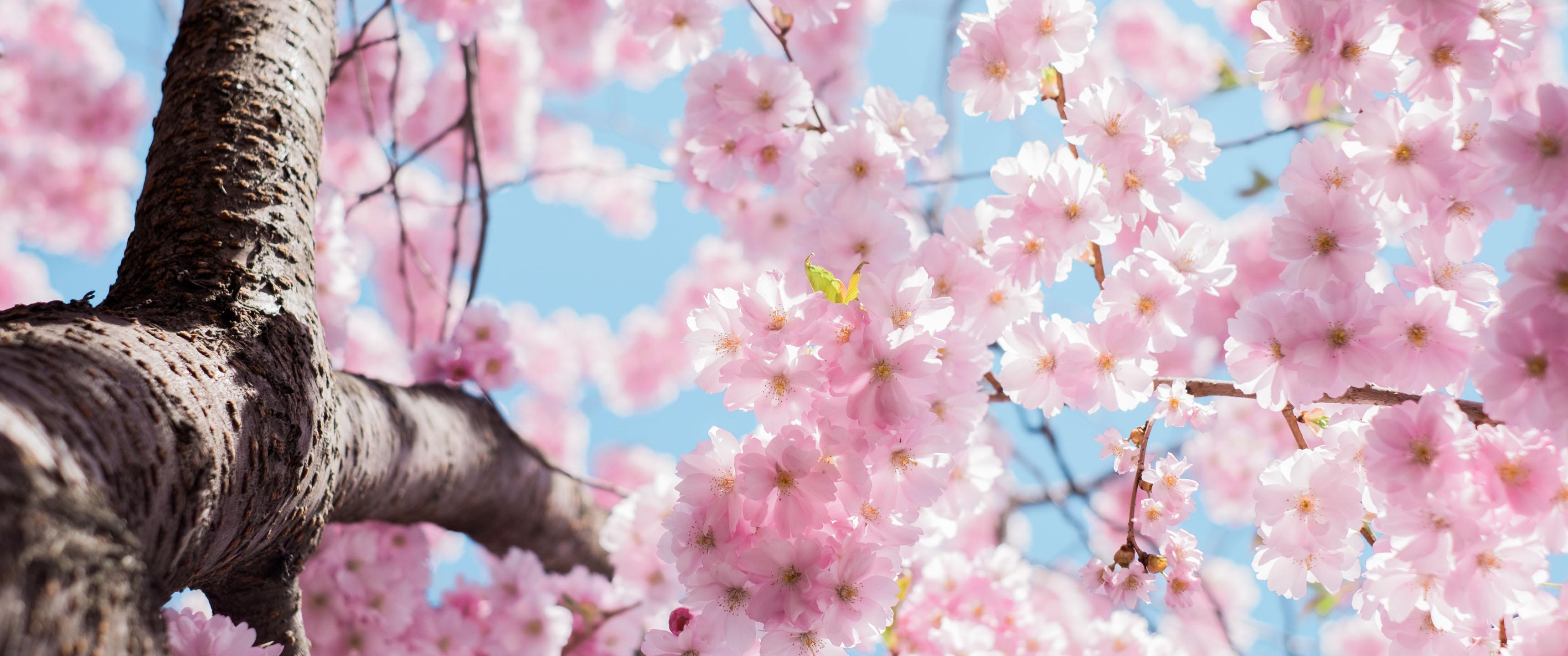 Cherry Blossom Wallpaper Hd Cherry Blossom Season 21 9 Wallpaper Ultrawide Monitor