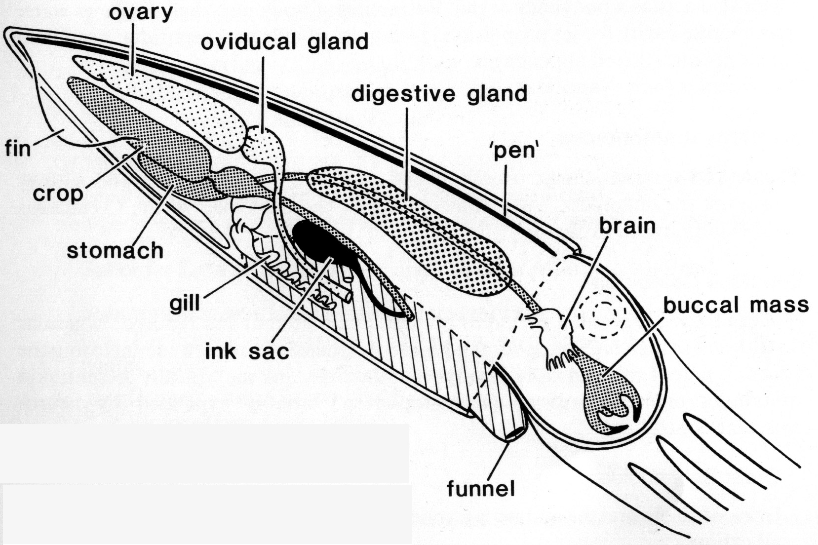 labeled squid external anatomy diagram 1995 saturn sl1 radio wiring youll never think of pens the same uluokala