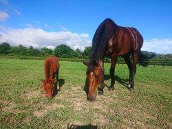 乗馬とミニチュアホースも繋養