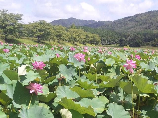 平の沢池の蓮の花