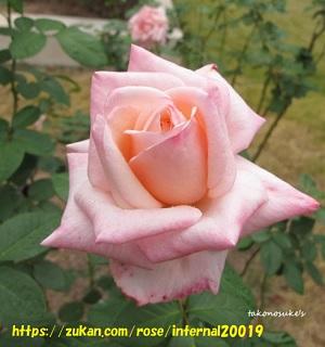 プリンセスノブコバラの花