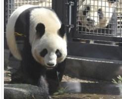 出産した上野動物園のシンシン(左)。右は父親のリーリー(2011年4月1日)=飯島啓太撮影
